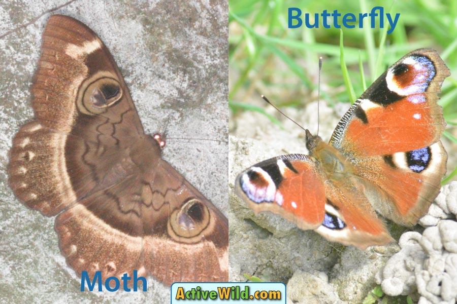 Moth vs Butterfly