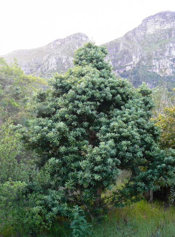 Real Yellowwood National Tree Of South Africa