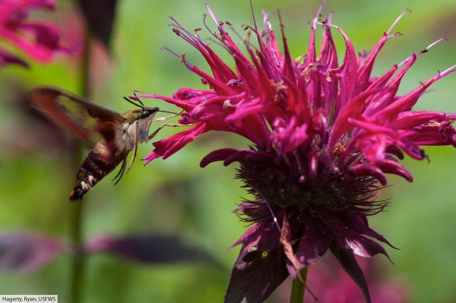 Snowberry clearwing feeding on Monarda plant.