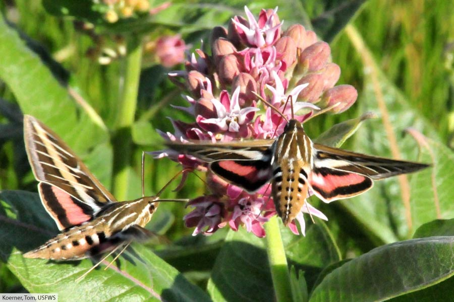 White-lined sphinx moths