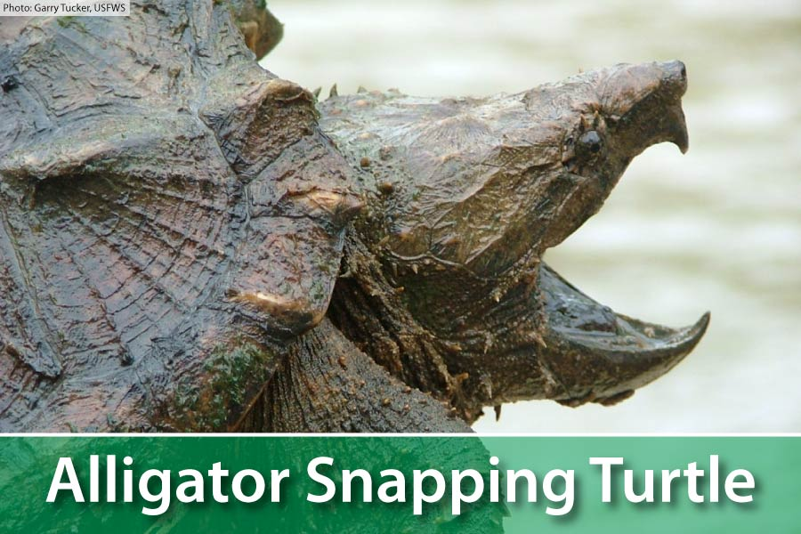 Alligator Snapping Turtle Facts