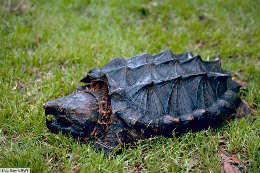 Alligator Snapping Turtle Out Of Water