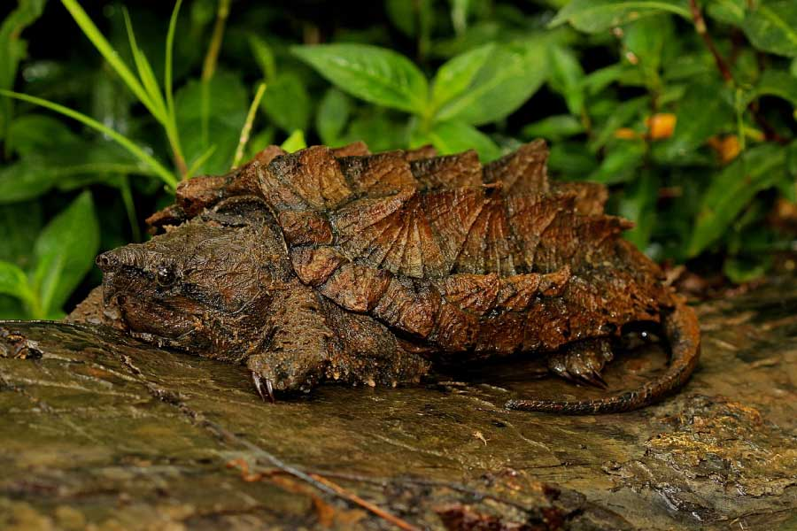 Alligator-Snapping-Turtle-Picture