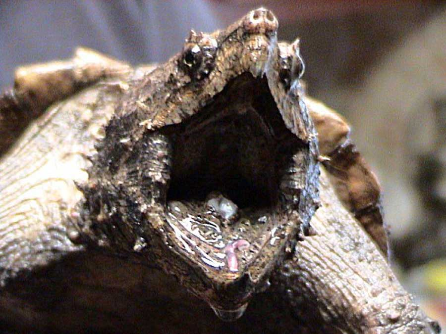 Alligator snapping turtle tongue close up