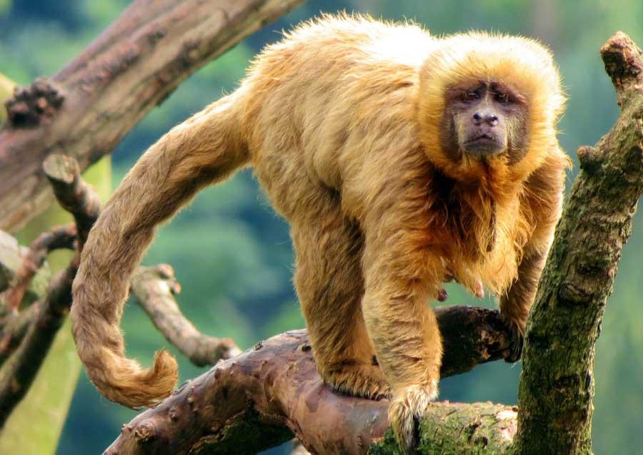 Blonde Capuchin