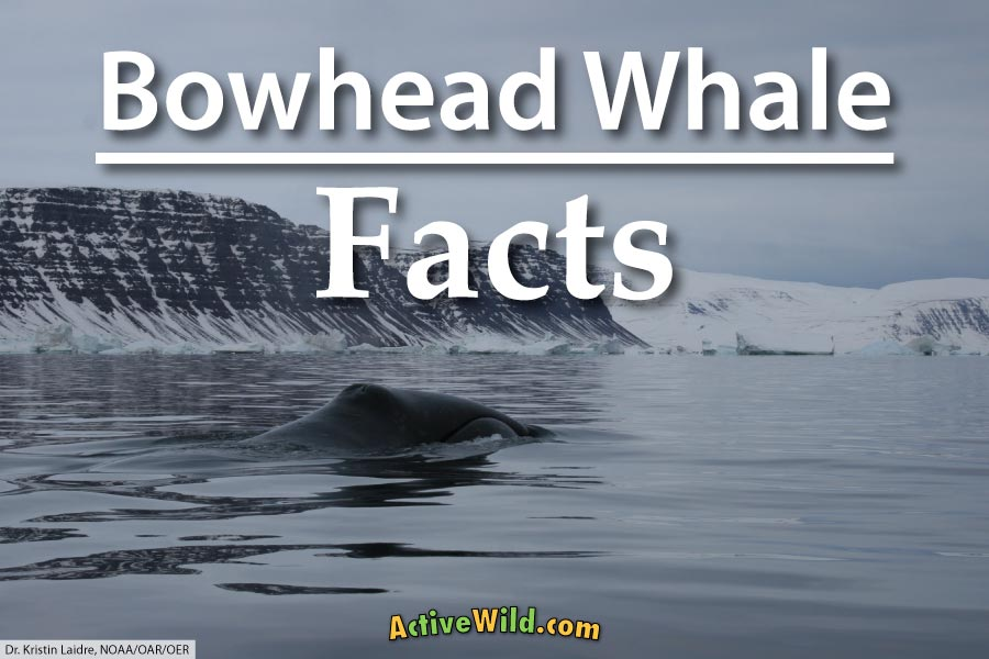 Bowhead Whale Facts