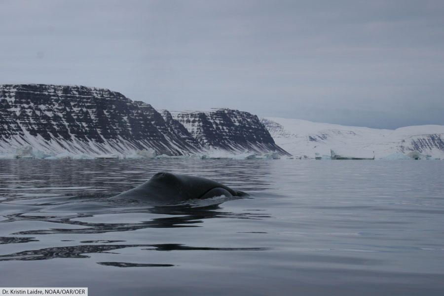 Bowhead whale swimming off the coast of Greenland