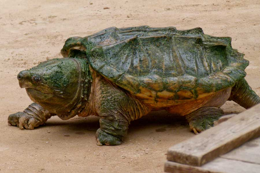 Captive Alligator Snapping Turtle