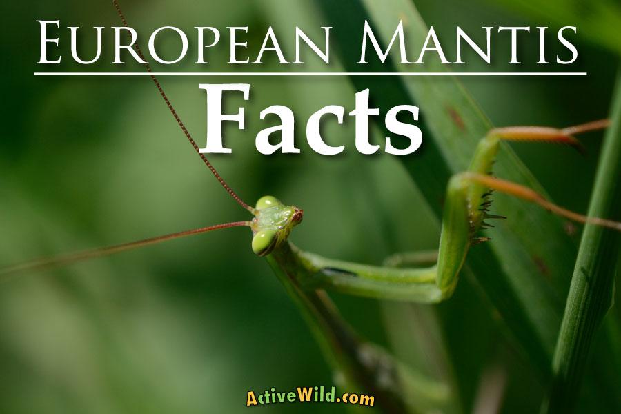 European Mantis Facts