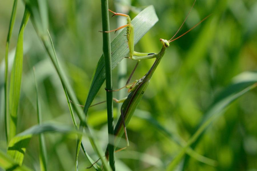 European Mantis In Grass Habitat