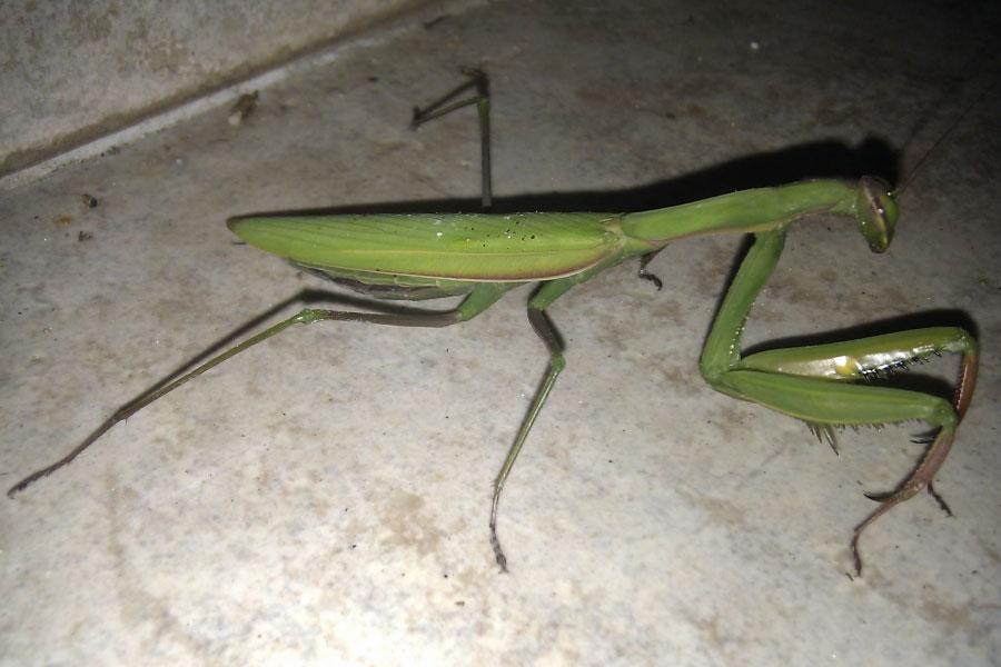 European Praying Mantis In Corsica