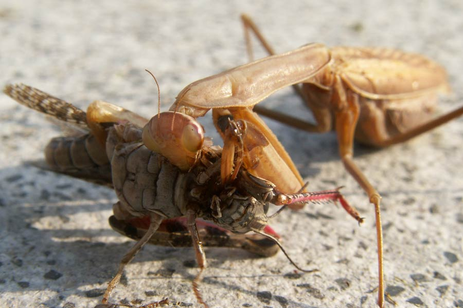 European mantis eating prey