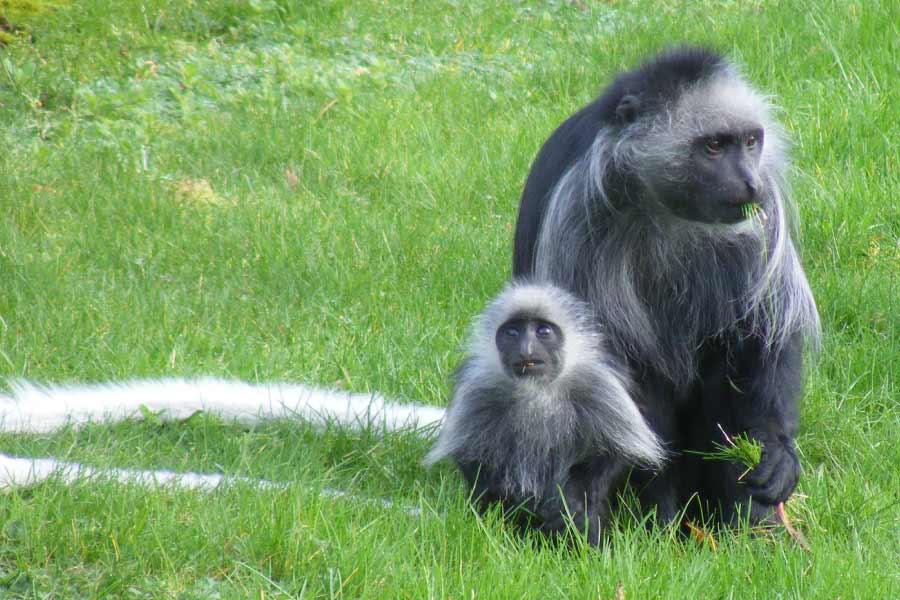 King Colobus Monkey