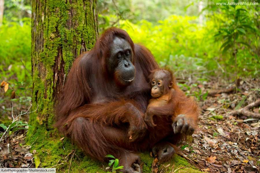 Mammal Orangutan