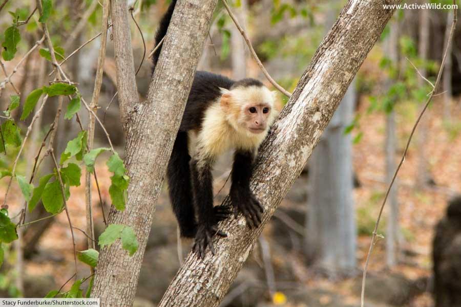 Monkey Panamanian White Faced Capuchin