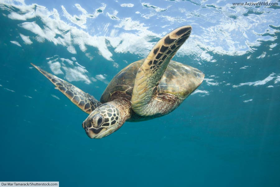 Reptile Green Sea Turtle