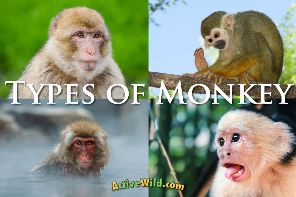 Types of Monkey