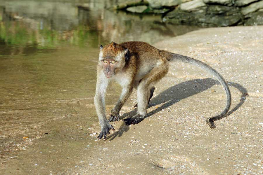 crab eating macaque