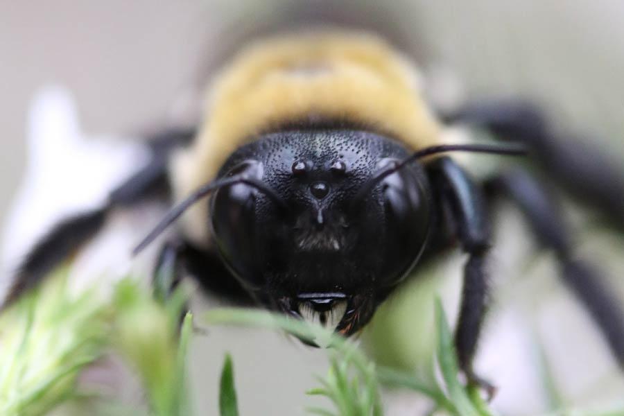 Bee Head Close Up