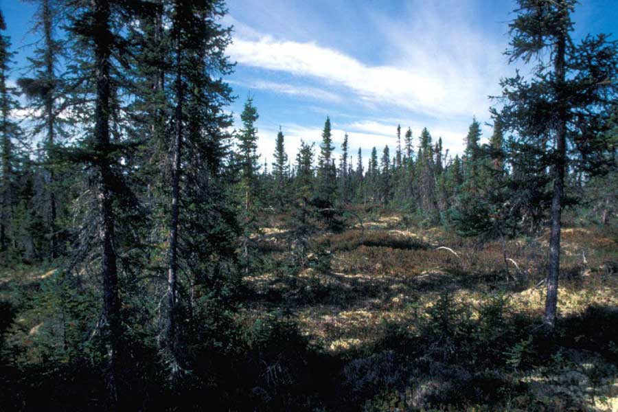 Black Spruce In Taiga