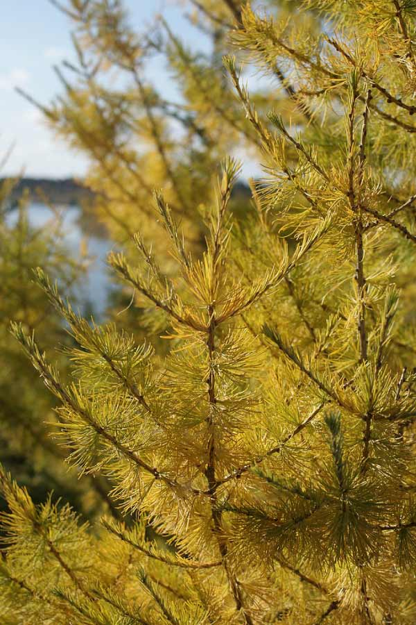 Tamarack Larch