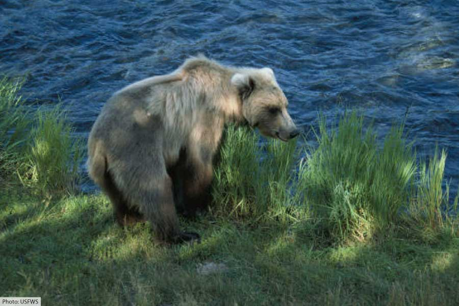 Brown Bear At Katmai National Park