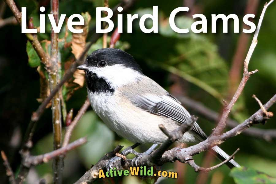 Cornell Bird Cams