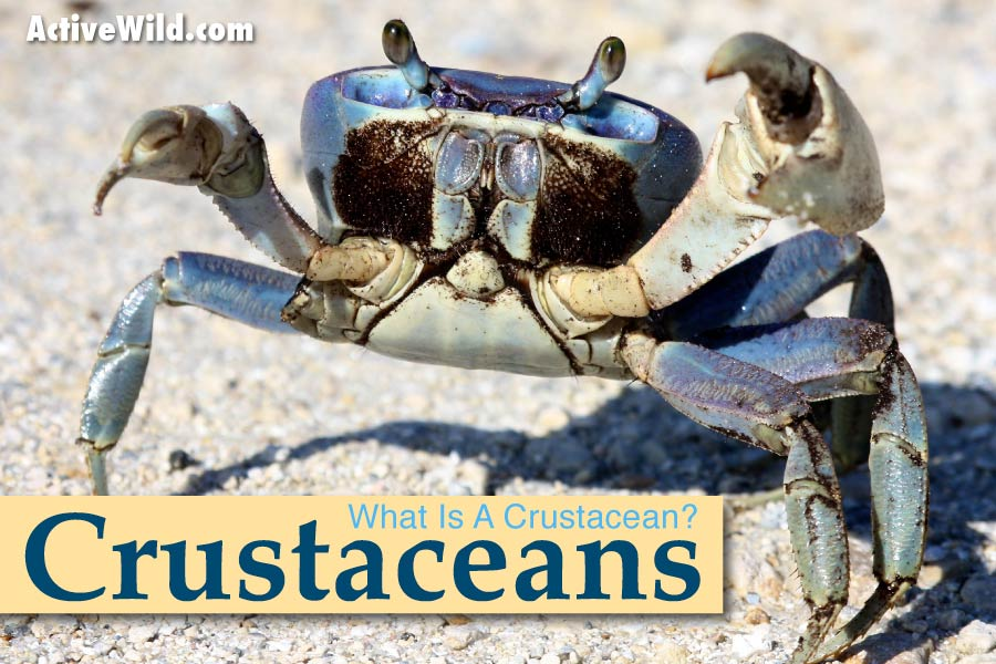 Crustaceans What Is A Crustacean