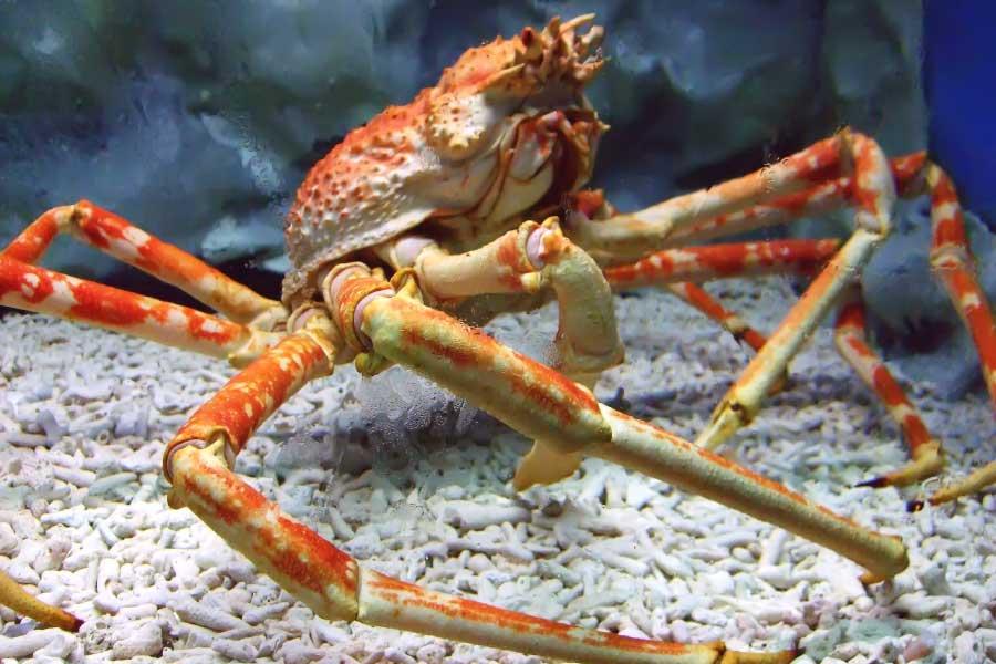 Japanese spider crab - the largest crustacean