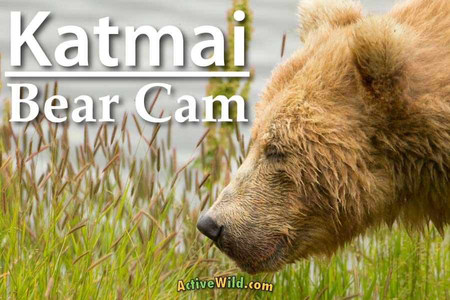 Katmai bear cam