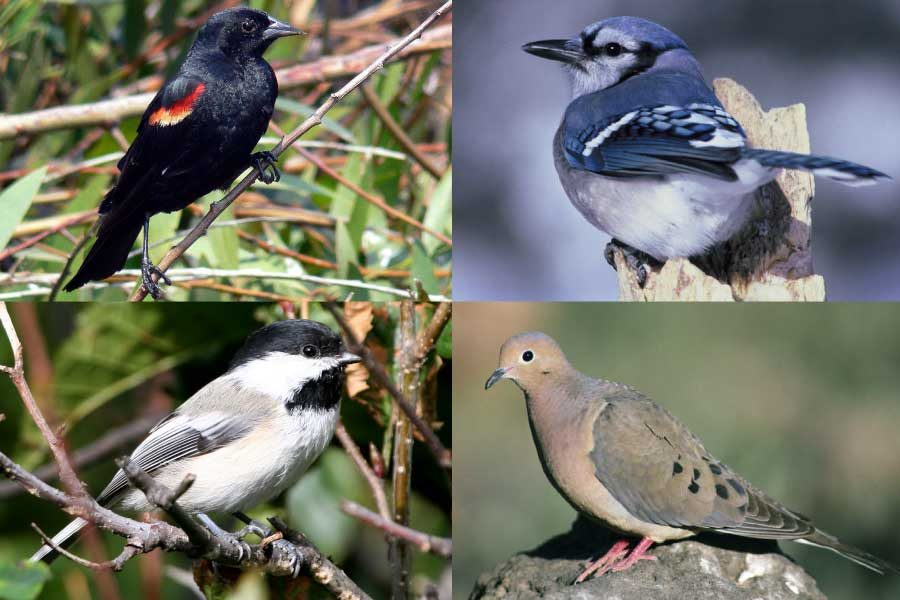 Species seen on Cornell bird cams