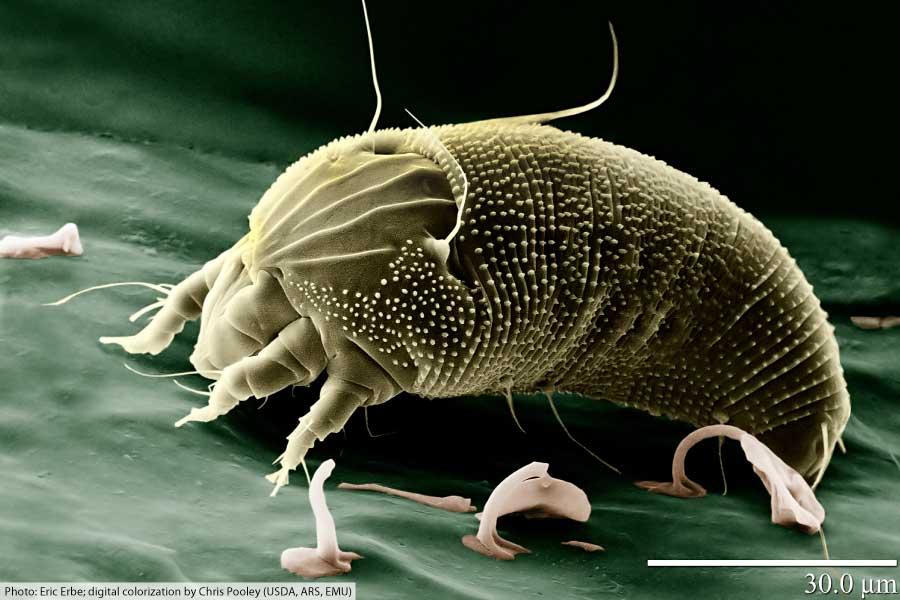 arachnid mite