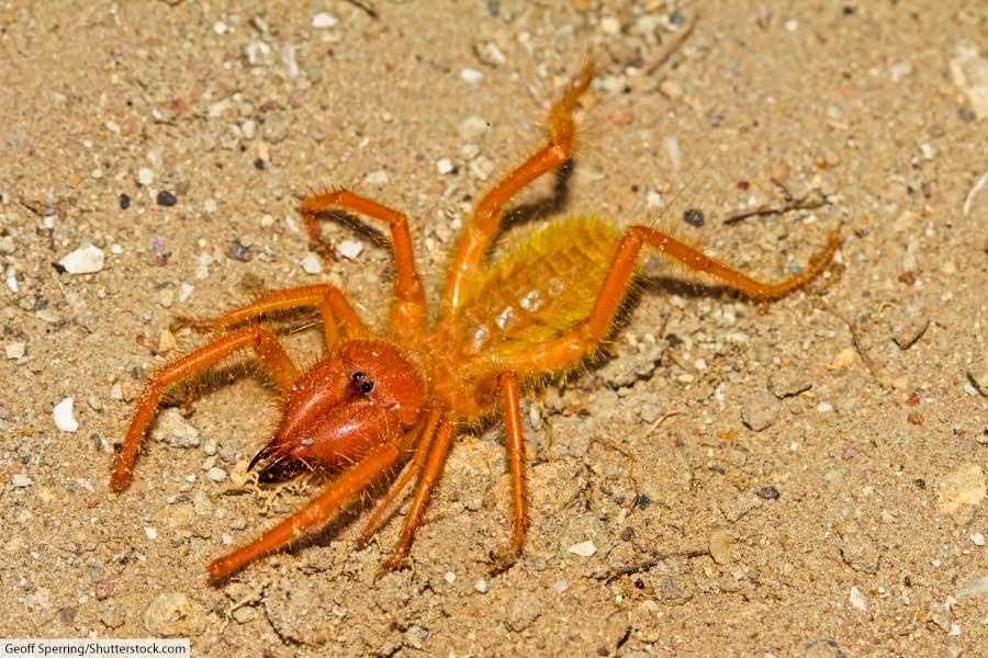 arachnid solifuge or camel spider