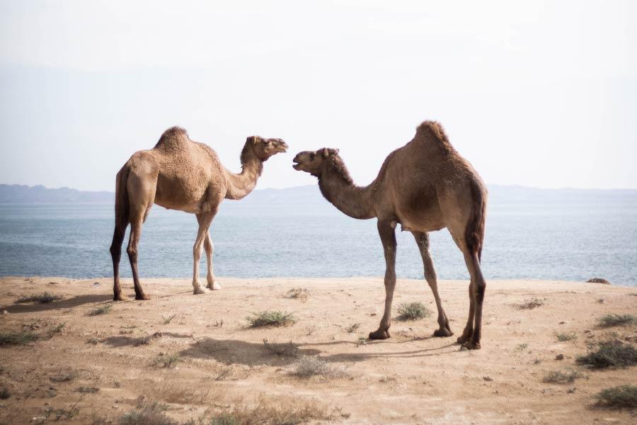 Camels Dromedary.