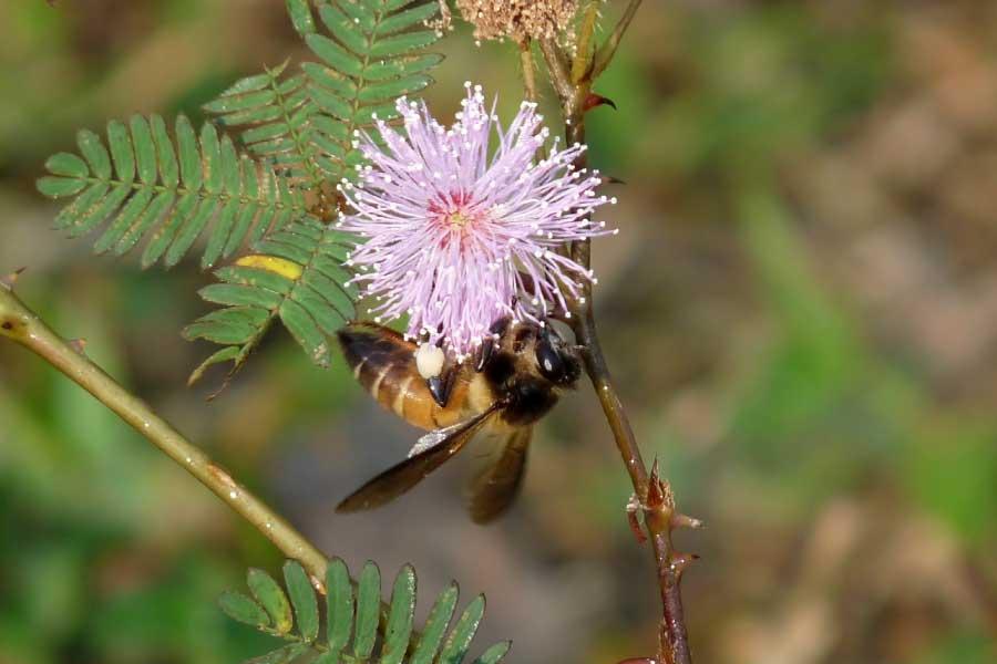 Giant honey bee (Apis Dorsata)