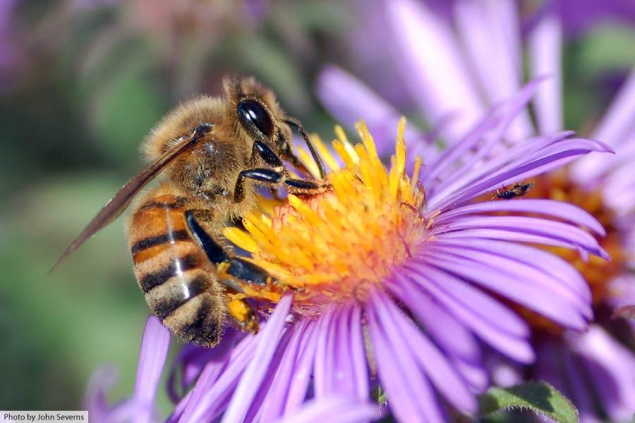 European honey bee on flower