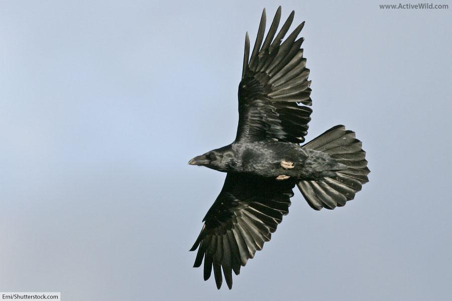 Common Raven In Flight