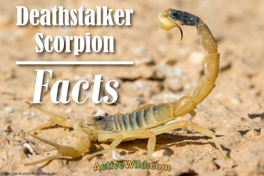 Deathstalker Scorpion Facts