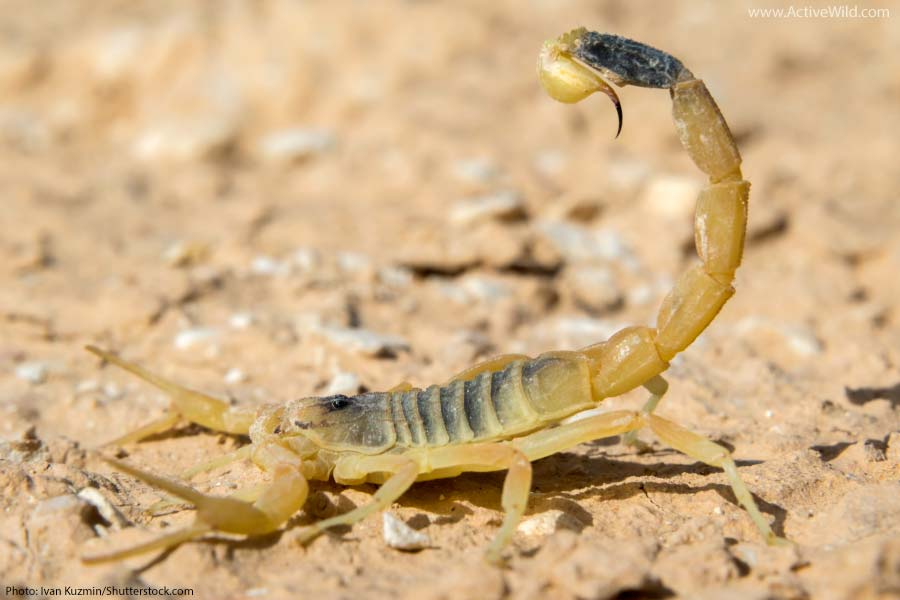 Deathstalker Scorpion with stinger raised