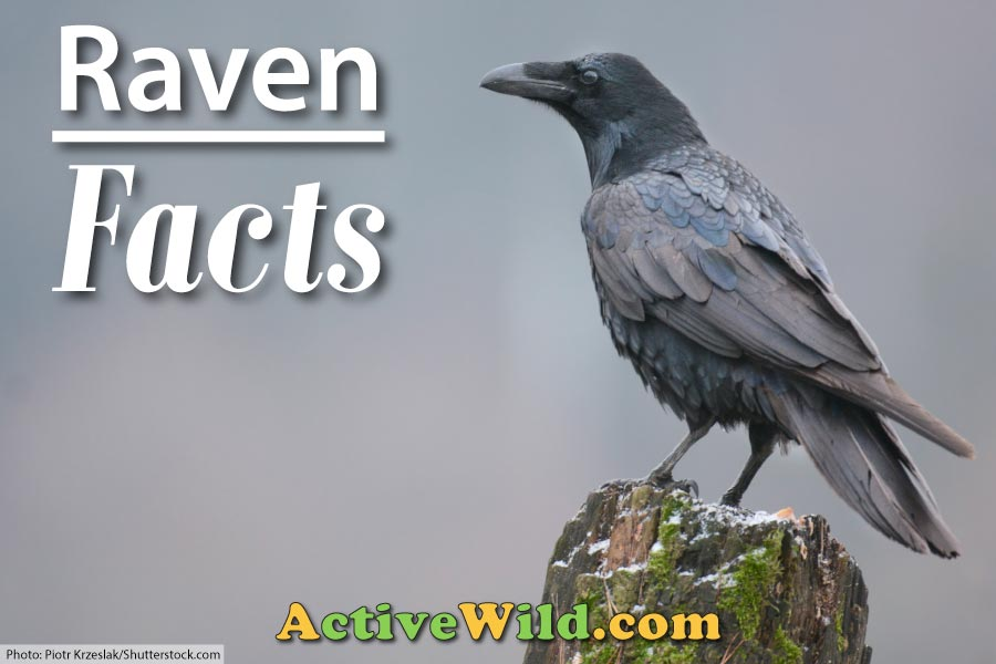 Raven Facts