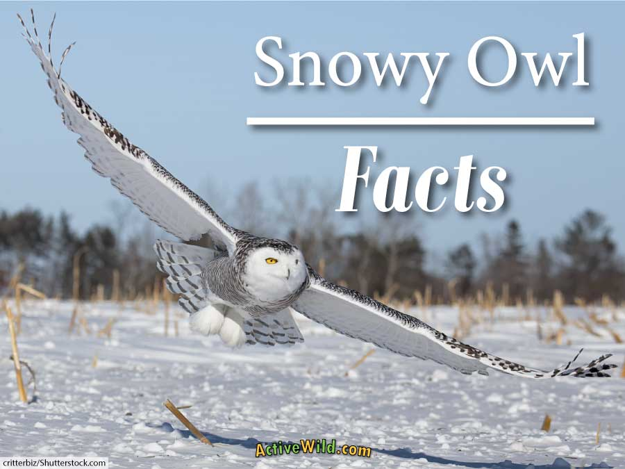 Snowy owl facts