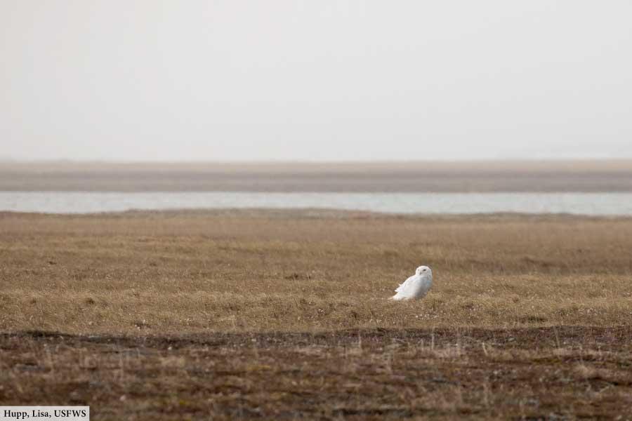 Snowy owl habitat