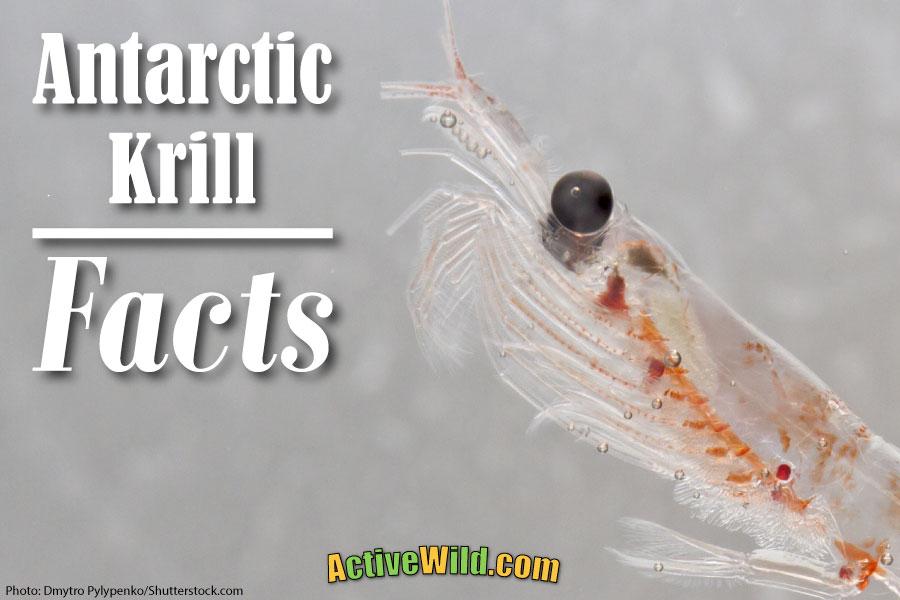 Antarctic Krill Facts