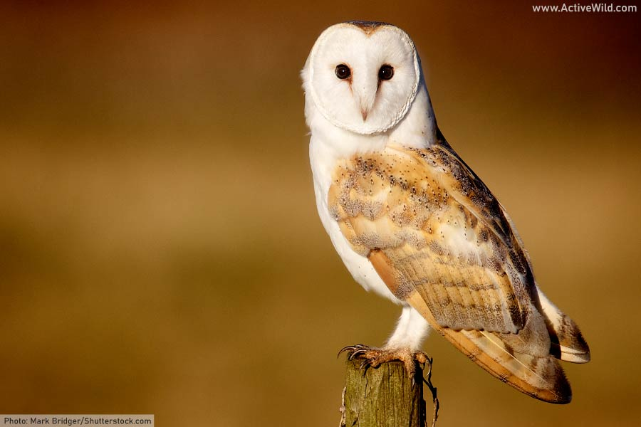 Barn owl close up