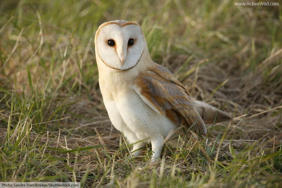 barn-owl-in-day
