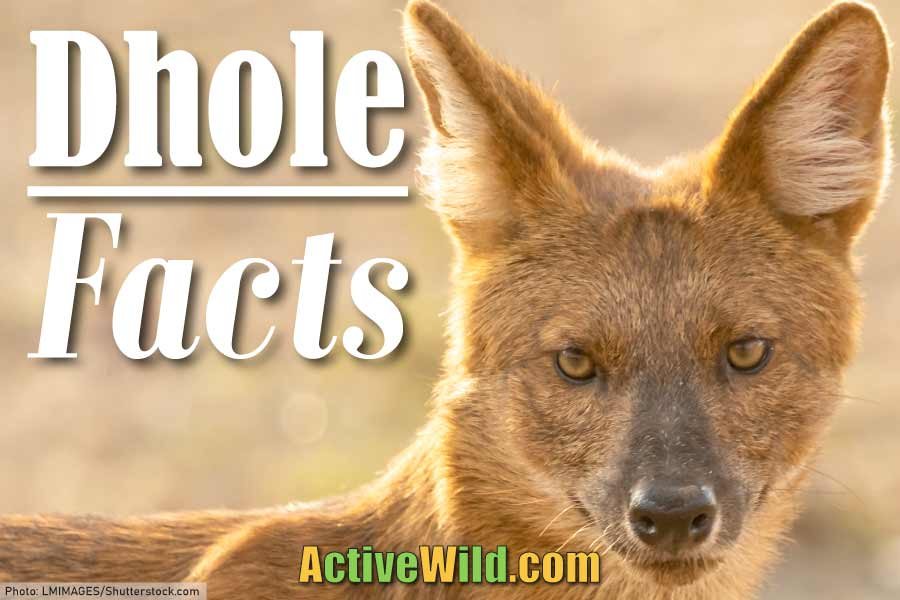 dhole facts