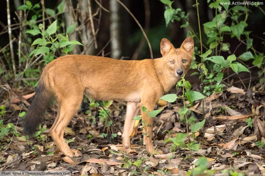 The dhole is found in a wide range of forest habitats.