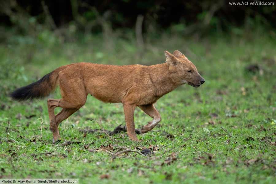 Dhole / Asian wild dog - endangered jungle animal