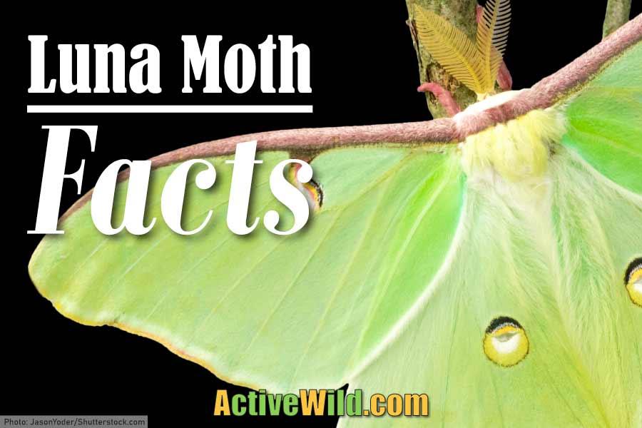 luna moth facts