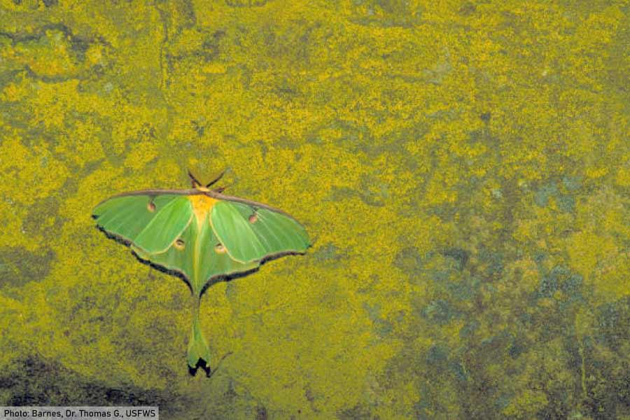 luna moth on wall